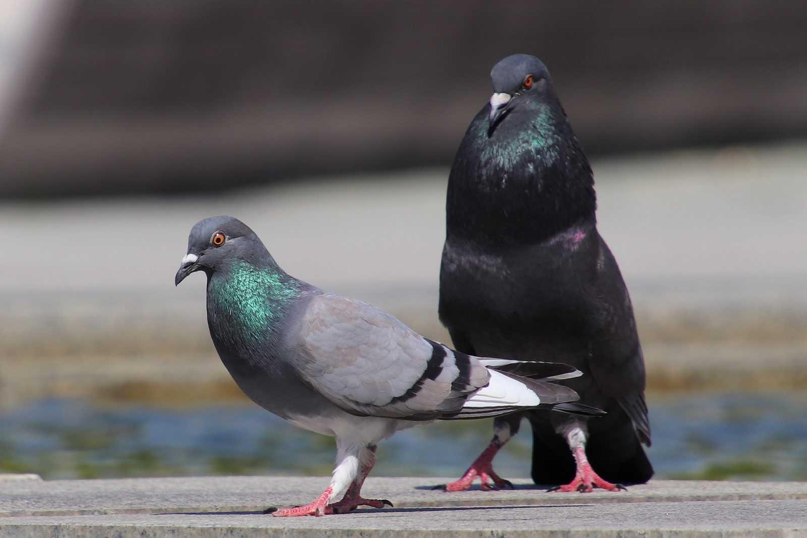 pigeons-3409247_1920