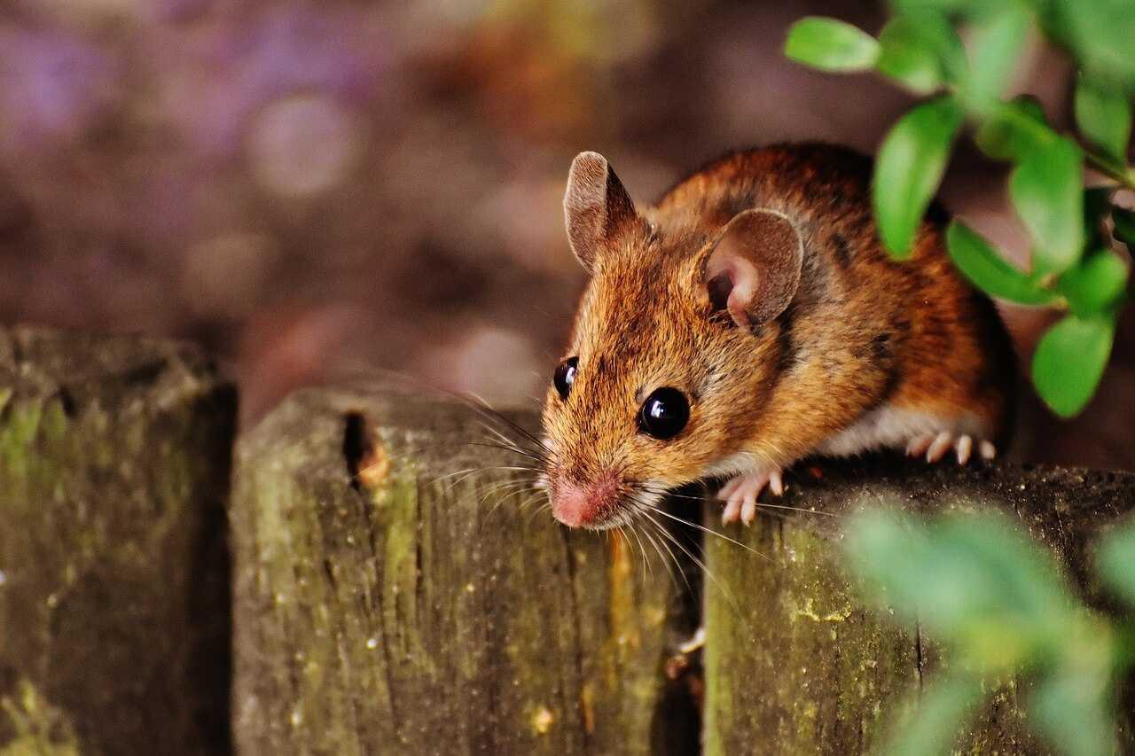 יש לכם עכבר בבית?